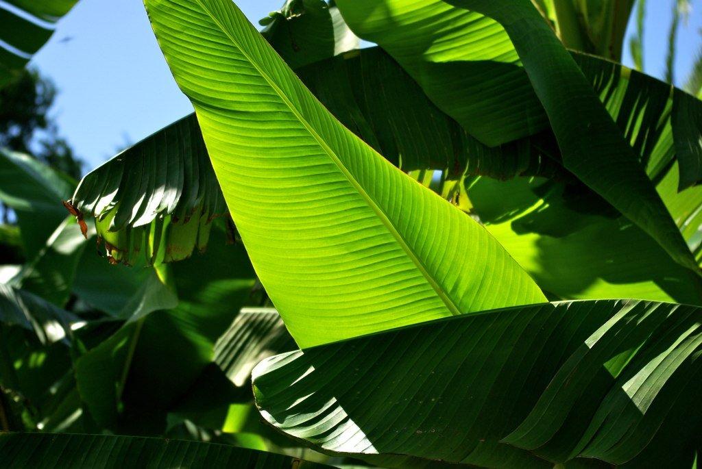 Feuille de bananier plantain